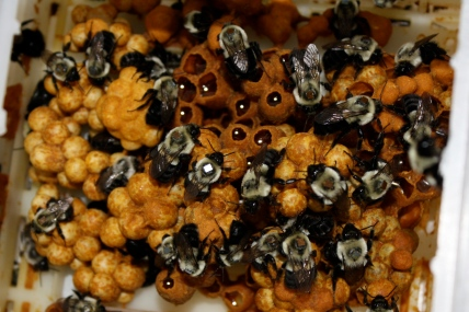 Bumblebees with chips (Photo credit: Clara Stuligross)